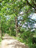 památné duby na hrázi Kvítkovického rybníka